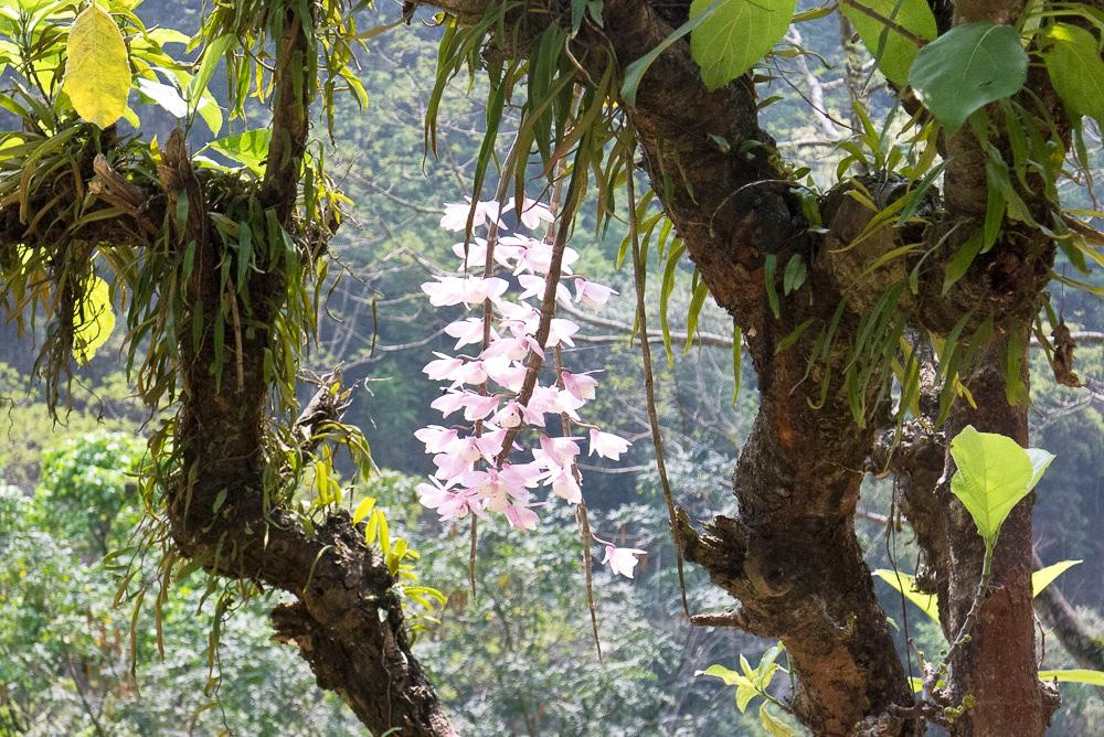 Wild Orchids, West Sikkim